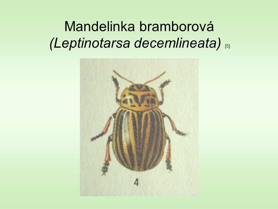 Mandelinka bramborová (Leptinotarsa decemlineata) [5]